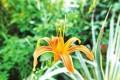 福州:茶亭的萱草 别把它当菜摘