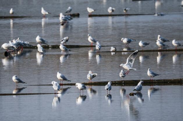 2018年11月2日,众多海鸥在江苏省连云港市海州湾北部赣榆区沿海一处