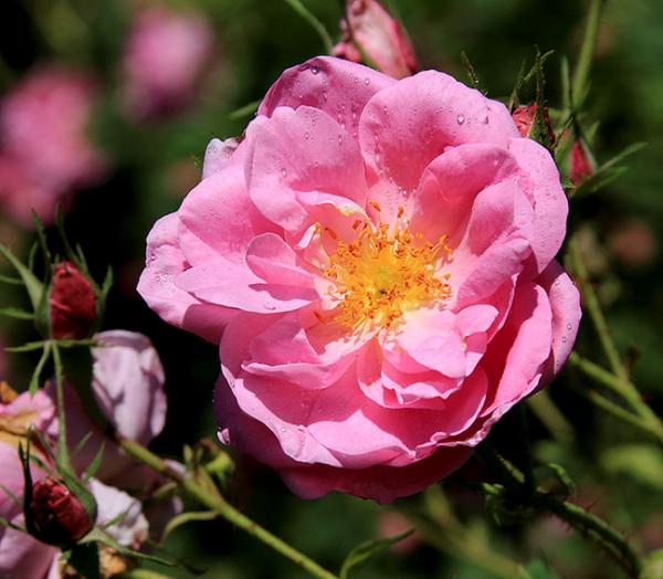你真的懂玫瑰吗?花媚堂为你揭开贵族玫瑰的秘密!