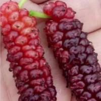 果桑苗新品种大型玫瑰果桑苗批发