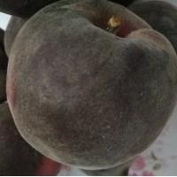 桃树苗新品种黑桃树苗批发