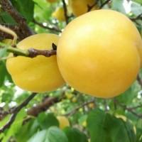 杏树苗 杏树新品种 荷兰香蜜杏树苗批发