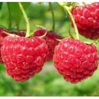 树莓苗 树莓种苗 红树莓苗批发