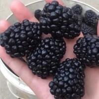 潍坊黑莓苗种植 黑莓树苗价格
